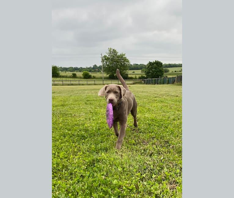 Photo of Uncanny Silver Havok, a Labrador Retriever  in Bedford, Indiana, USA