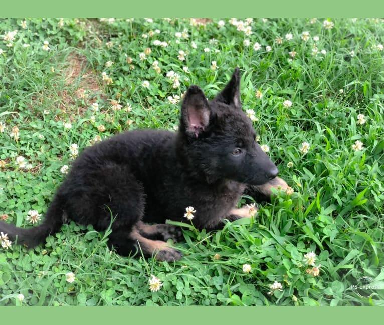 Photo of Kojak, a German Shepherd Dog  in Salisbury, NC, USA