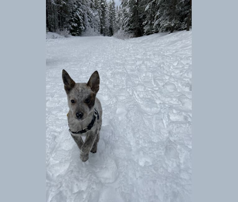 Photo of Zeus, an Australian Cattle Dog and Mixed mix in Texas, USA