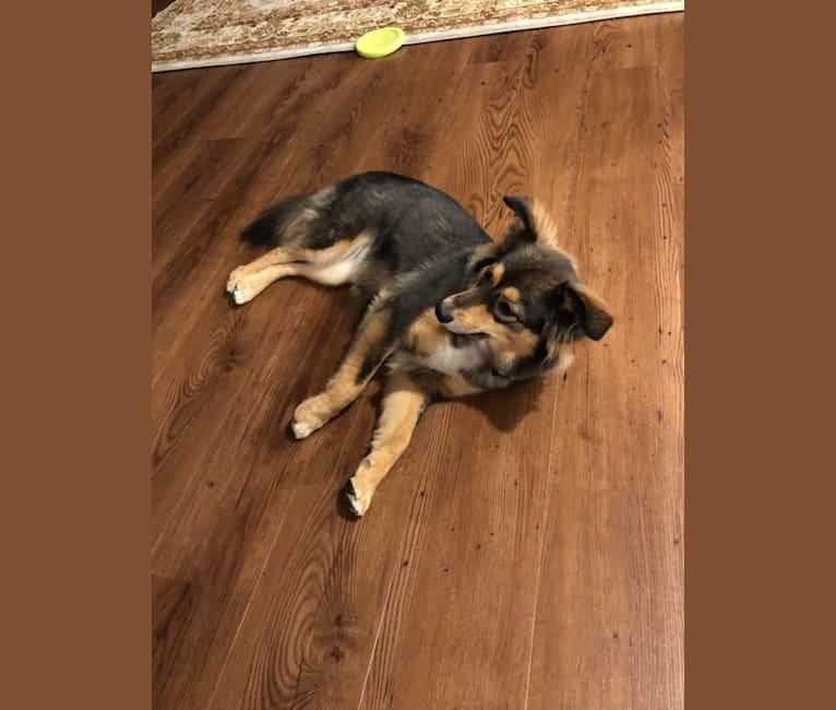 Photo of Winnie, a Miniature/MAS-type Australian Shepherd, German Shepherd Dog, Pembroke Welsh Corgi, and American Pit Bull Terrier mix in Texas, USA