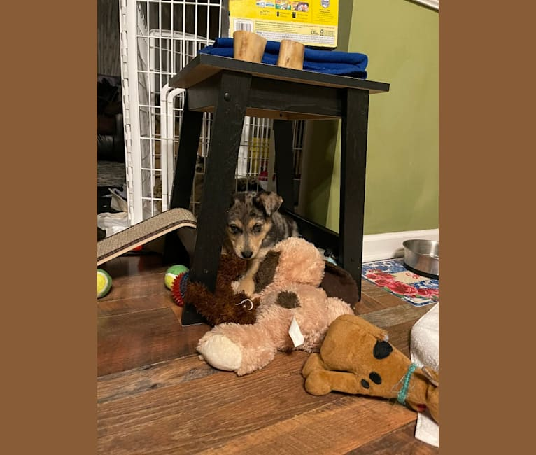 Photo of Cosmo, a Siberian Husky and German Shepherd Dog mix in Morehead, Kentucky, USA