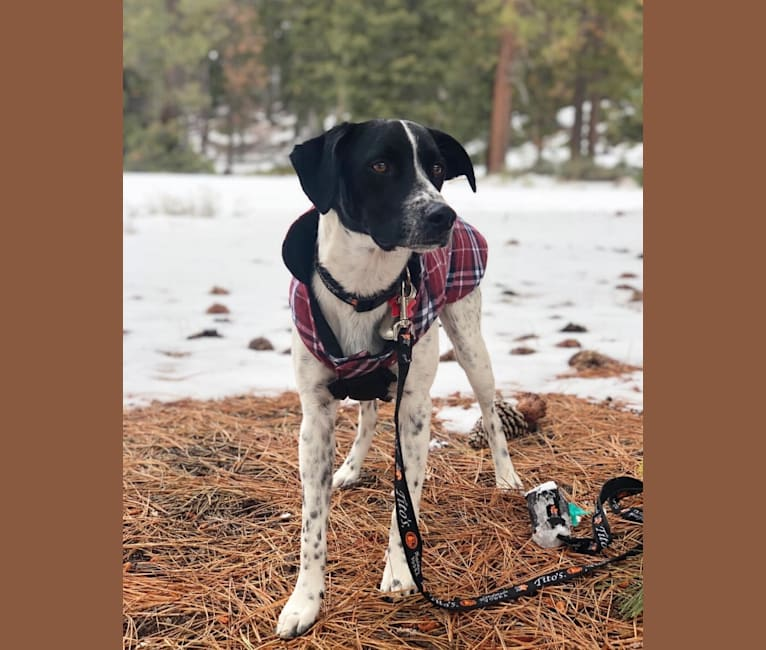 Photo of Riley, a German Shorthaired Pointer, Australian Cattle Dog, and Border Collie mix in Dublin, California, USA