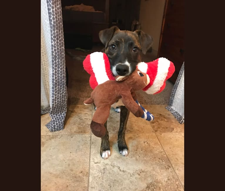 Photo of Aspen, a Rottweiler, Cane Corso, Australian Cattle Dog, American Pit Bull Terrier, and Mixed mix in Texas, USA