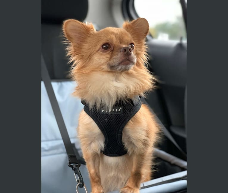 Photo of Lucas, a Chihuahua and Yorkshire Terrier mix in New York, USA