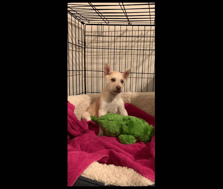 Photo of Pilot, a Belgian Malinois, German Shepherd Dog, Golden Retriever, and Siberian Husky mix in Pasadena, Texas, USA
