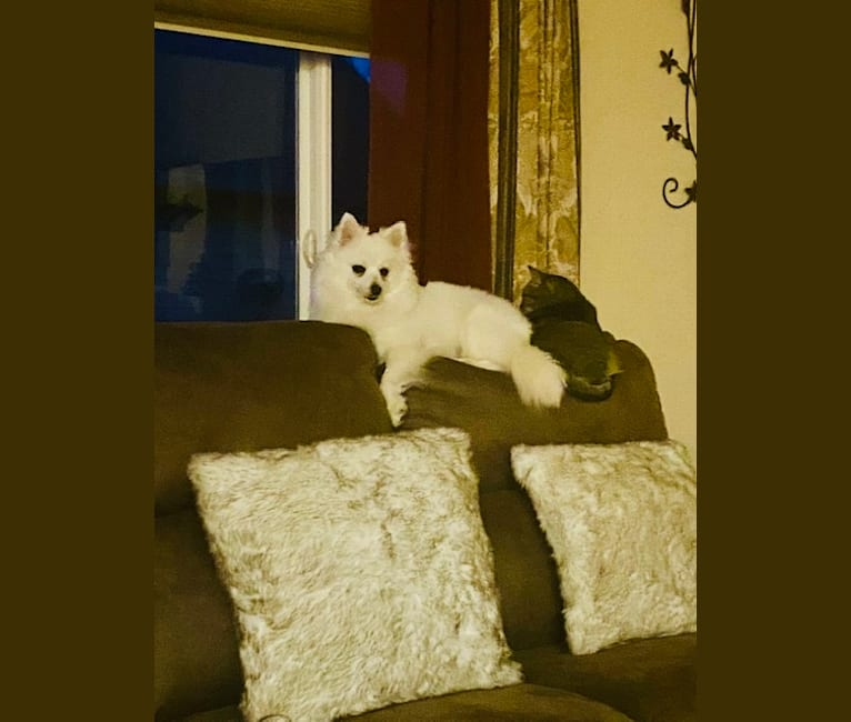 Photo of Raini, an American Eskimo Dog  in Eaton, Colorado, USA