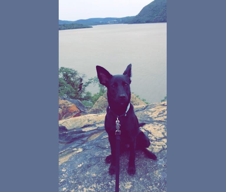 Photo of Kona, an American Pit Bull Terrier, Australian Cattle Dog, Border Collie, Labrador Retriever, Shiba Inu, and Mixed mix in Houston, Texas, USA