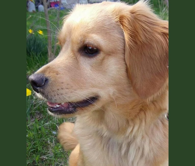 Photo of Bella, a Golden Retriever, Pomeranian, Beagle, and Dachshund mix in Twining, Michigan, USA