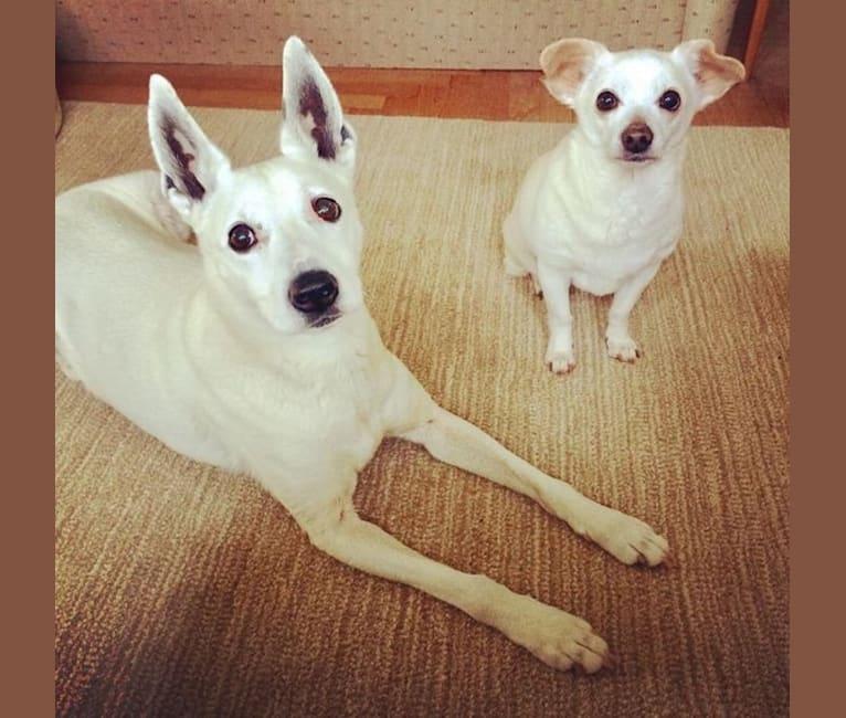 Photo of Little, a Chihuahua, Dachshund, Pekingese, and Mixed mix in Portland, Oregon, USA