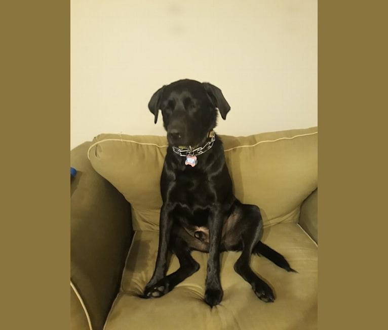 Photo of Rocco, a Labrador Retriever and Border Collie mix in Louisiana, USA