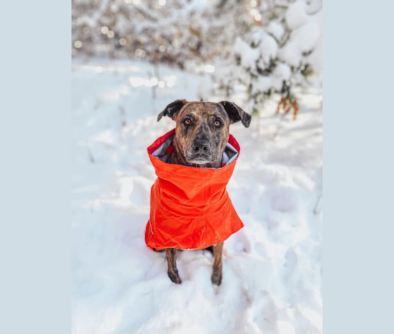 Photo of Wren, a Catahoula Leopard Dog and Rottweiler mix in Minnesota, USA