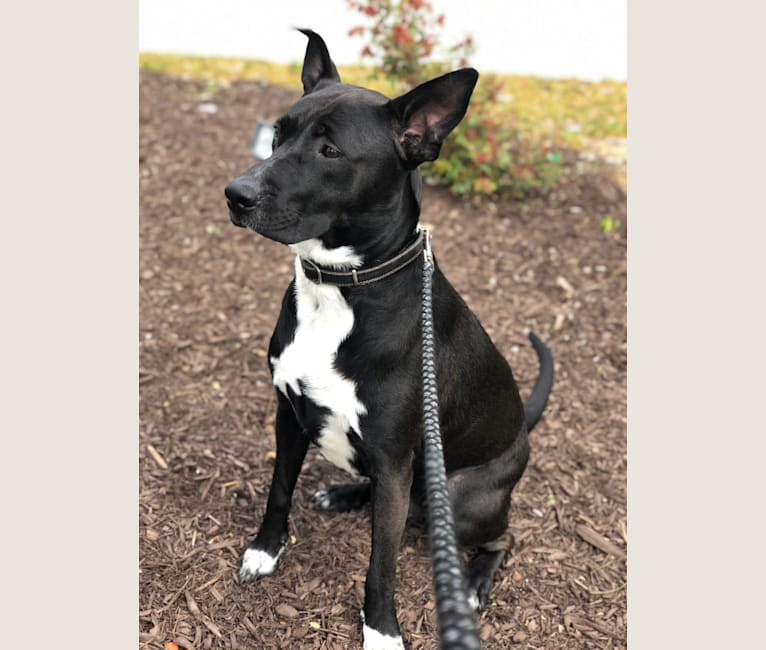 Photo of Rocky, an American Pit Bull Terrier, Akita, American Staffordshire Terrier, and Mixed mix in Owings Mills, MD, USA