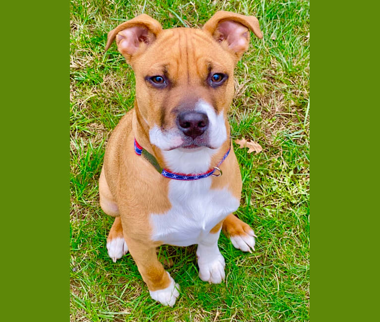 Photo of Chubs, an American Pit Bull Terrier, Boxer, and Mixed mix in Puerto Rico