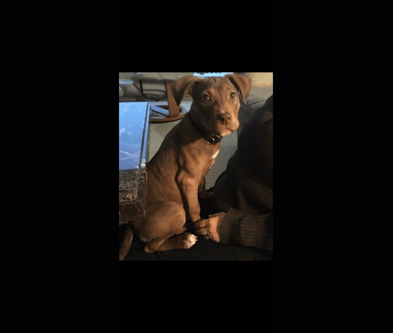 Photo of Daisy Mae Harrington III, an American Pit Bull Terrier, Rottweiler, American Foxhound, Doberman Pinscher, and American Bulldog mix in Texas, USA
