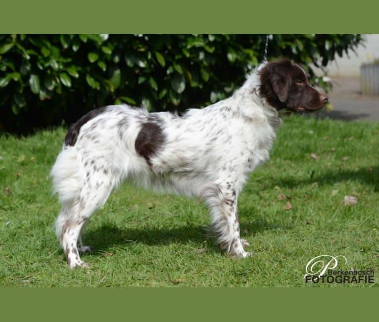 Photo of Bregje, a Stabyhoun  in Blaricum, Nederland