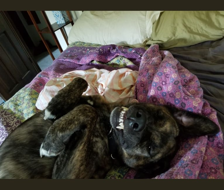 Photo of Higgins, an Akita, American Pit Bull Terrier, Weimaraner, and Mixed mix in Oconomowoc, Wisconsin, USA