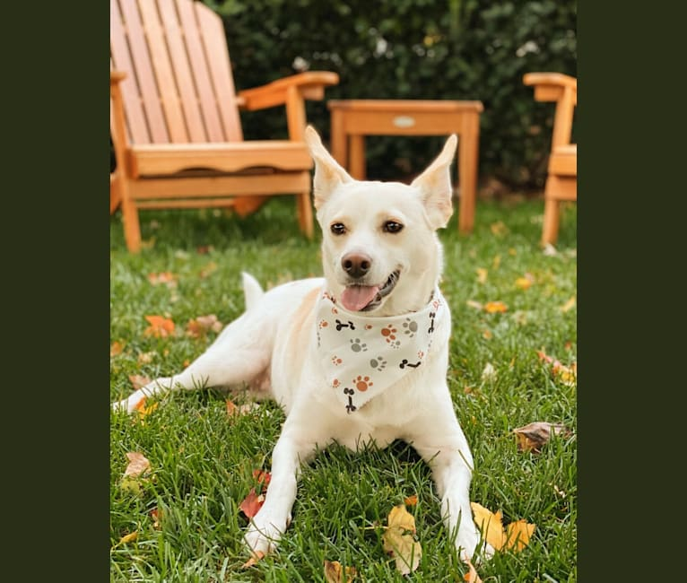 Photo of Star, a Pembroke Welsh Corgi, Australian Cattle Dog, and Rat Terrier mix in Texas, USA