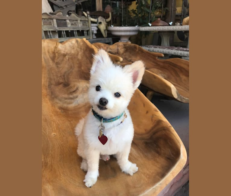 Photo of Palo Santo, a Pomapoo (11.3% unresolved) in Texas, USA
