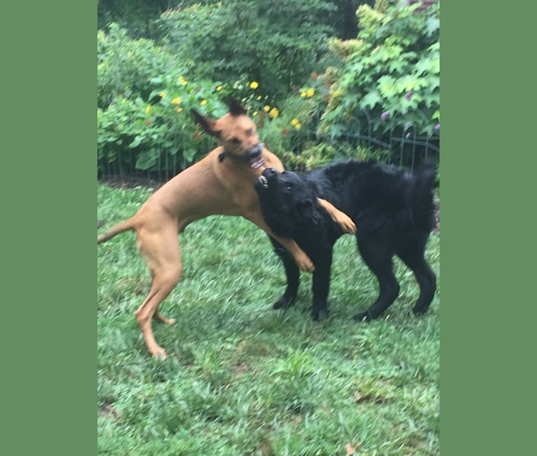 Photo of Peeve (my pet peeve), a Doberman Pinscher and American Pit Bull Terrier mix in Asheville, North Carolina, USA