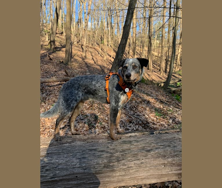 Photo of Cooper, an Australian Cattle Dog  in Ellijay, Georgia, USA
