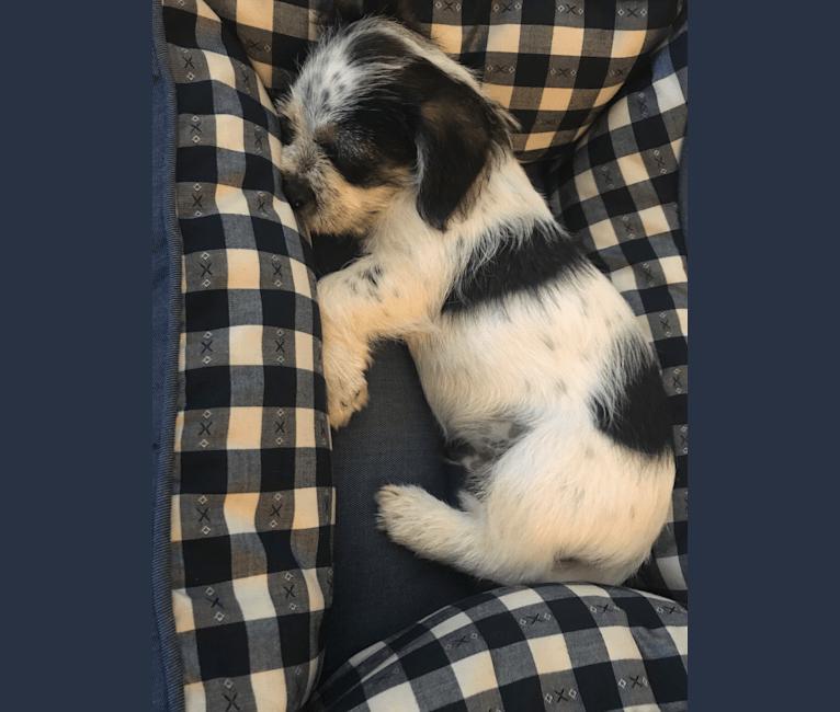 Photo of Oliver, a Shih Tzu, Chihuahua, Dachshund, and Mixed mix in Waianae, HI, USA