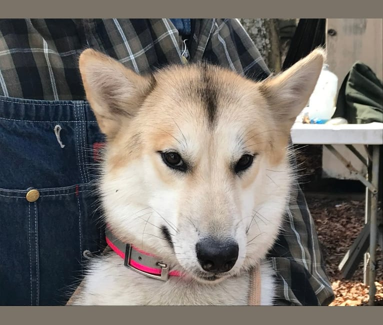Photo of Tuli, a Greenland Dog  in Victor, ID, USA