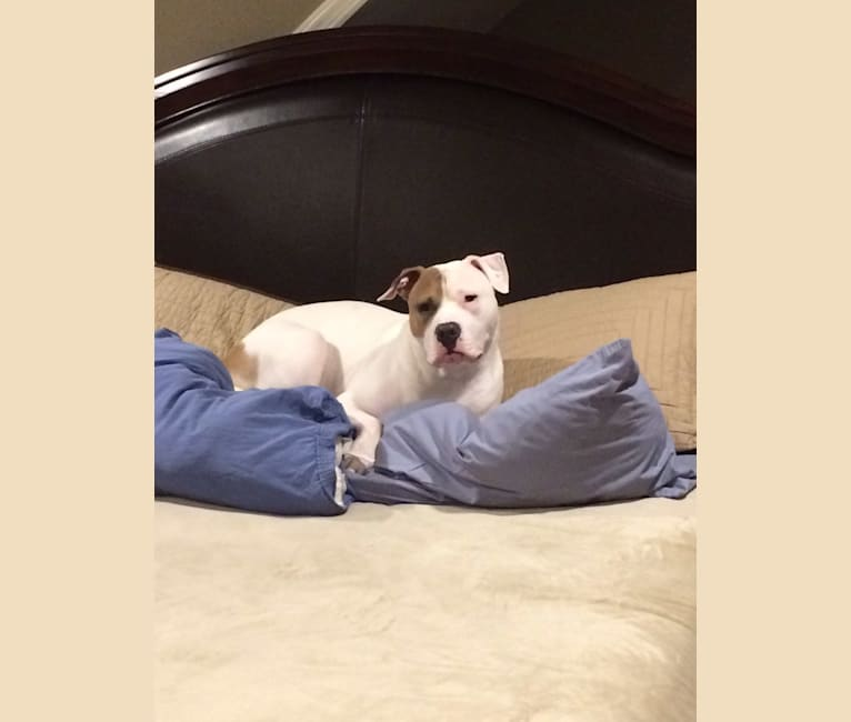 Photo of Kobe, an American Pit Bull Terrier, American Staffordshire Terrier, and Mixed mix in Easton, Connecticut, USA
