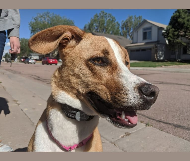 Photo of Raya, a Dachshund, Australian Cattle Dog, Siberian Husky, American Bulldog, and American Staffordshire Terrier mix in Colorado Springs, Colorado, USA
