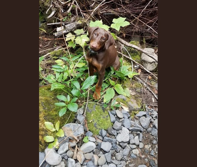 Photo of Scooby, a Doberman Pinscher  in Seattle, WA, USA