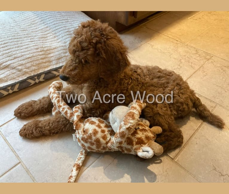 Photo of Opie, a Poodle (Standard)  in Illinois, USA