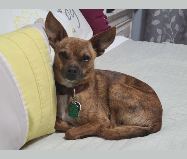 Photo of Riley, a Chihuahua, Yorkshire Terrier, Dachshund, Miniature Pinscher, and Mixed mix in Ellijay, Georgia, USA