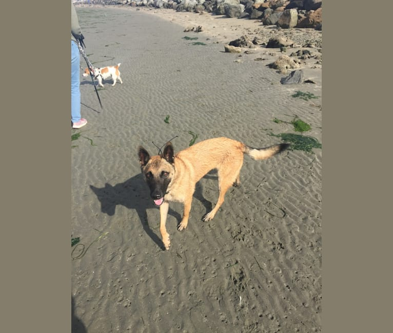 Photo of Niko, a Belgian Malinois and German Shepherd Dog mix in Santa Rosa, California, USA