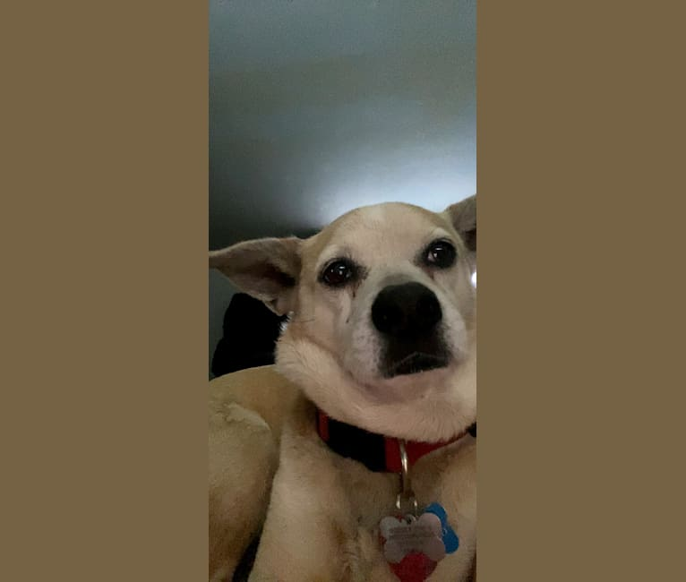 Photo of Roscoe P. Coltrane, a Chihuahua, American Pit Bull Terrier, and Mixed mix in U.S. Virgin Islands