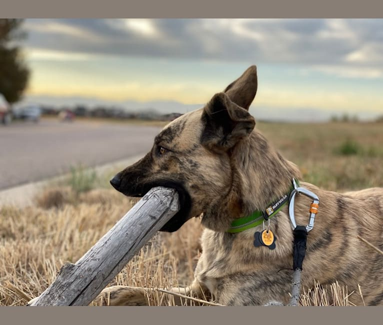 Photo of Roscoe, a Siberian Husky, American Pit Bull Terrier, and Australian Cattle Dog mix in Durango, Colorado, USA