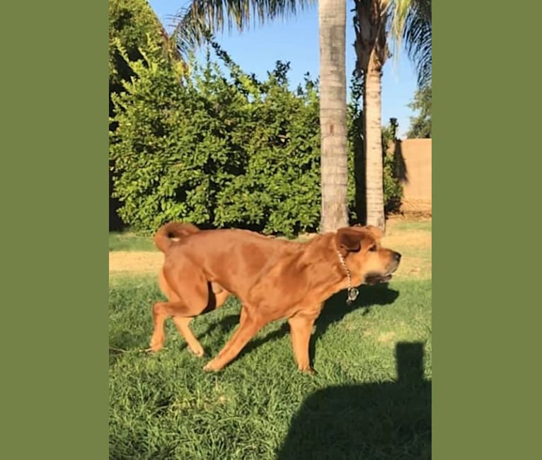 Photo of Dozer, a Chow Chow, Rottweiler, and Mixed mix in Mesa, Arizona, USA