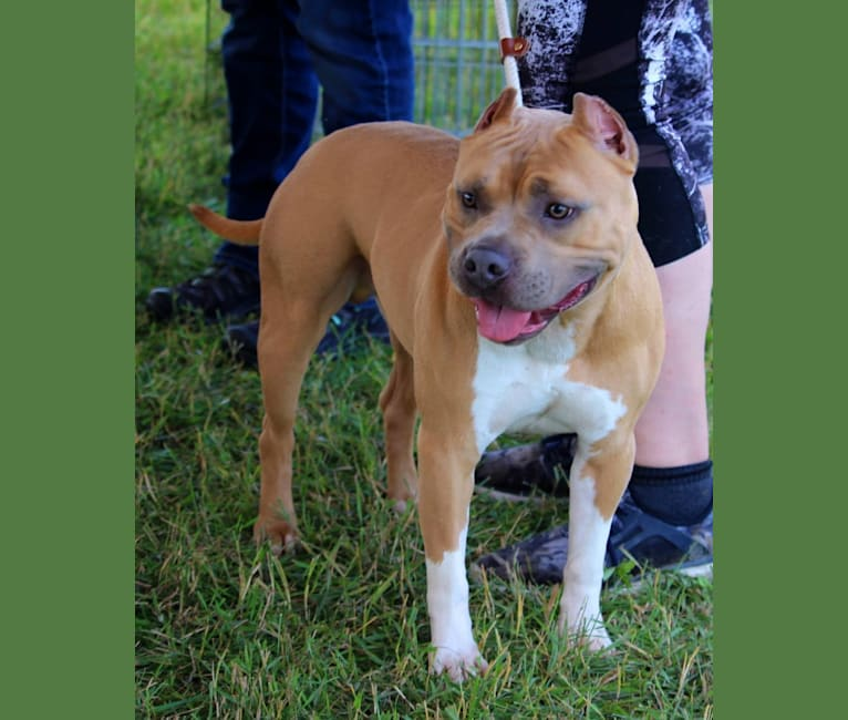 Photo of Rhodie, an American Staffordshire Terrier  in Harrington, DE, USA