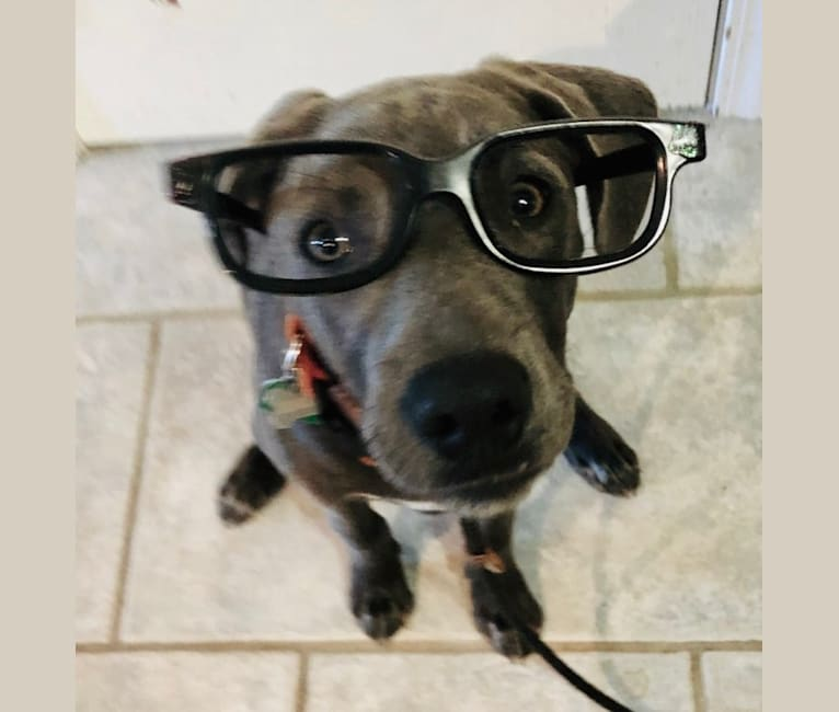 Photo of Charley Hunter Blue, a Blue Lacy  in Mingus, TX, USA