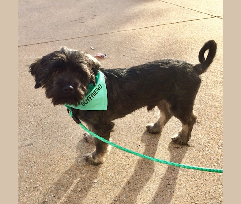 Photo of Milo, a Chihuahua, Poodle (Small), Miniature Schnauzer, and Mixed mix in Houston, Texas, USA