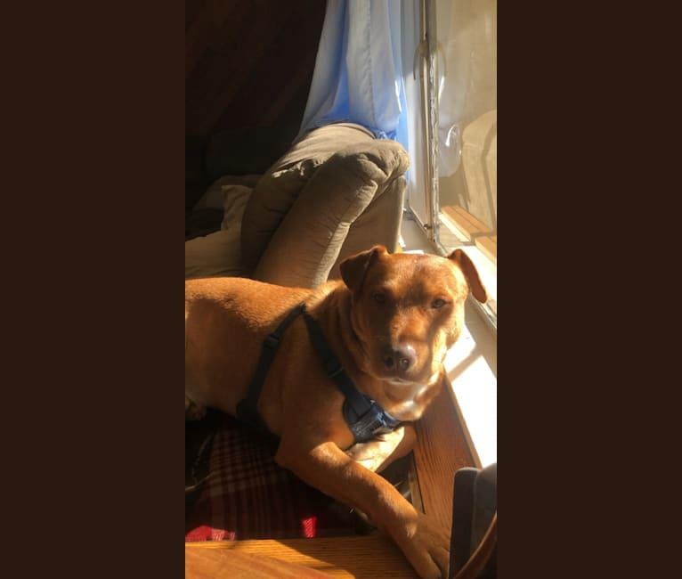 Photo of Drako, an American Pit Bull Terrier, Australian Cattle Dog, Bulldog, and Labrador Retriever mix in Davis, California, USA