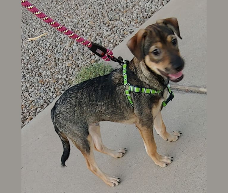 Photo of Jack, a Chihuahua, Chow Chow, Miniature Pinscher, Rat Terrier, Poodle (Small), and Shih Tzu mix in Arizona, USA