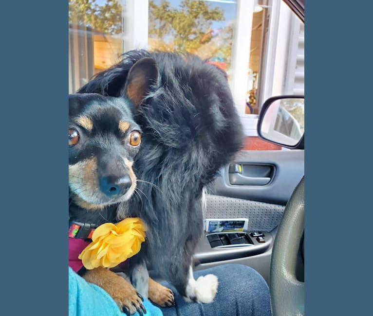 Photo of Lola, a Chihuahua, Miniature Pinscher, and Mixed mix in Arcadia, Florida, USA