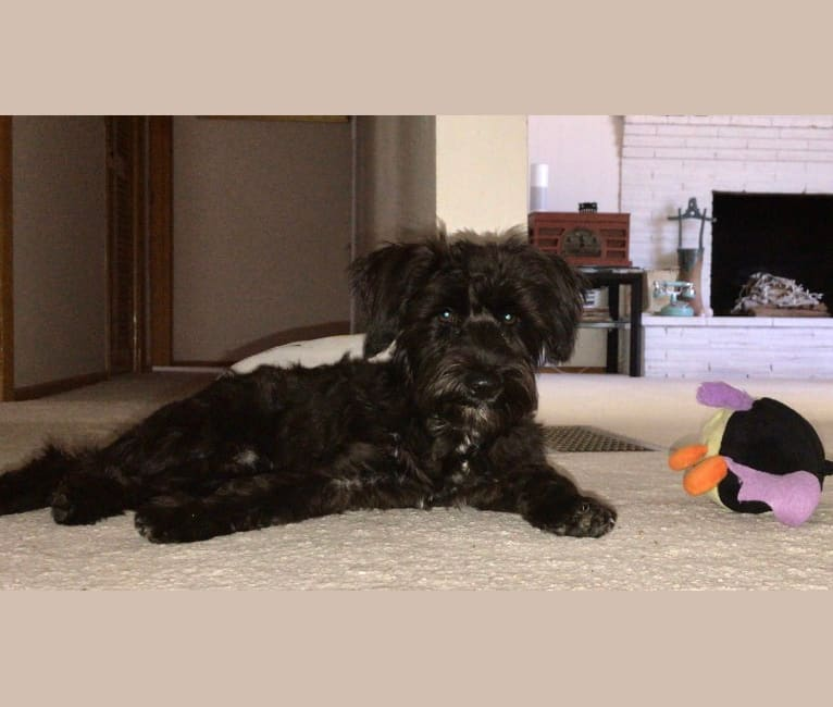 Photo of Maxwell Mizula, a Miniature Schnauzer and Silky Terrier mix in Hazel Dell, Washington, USA