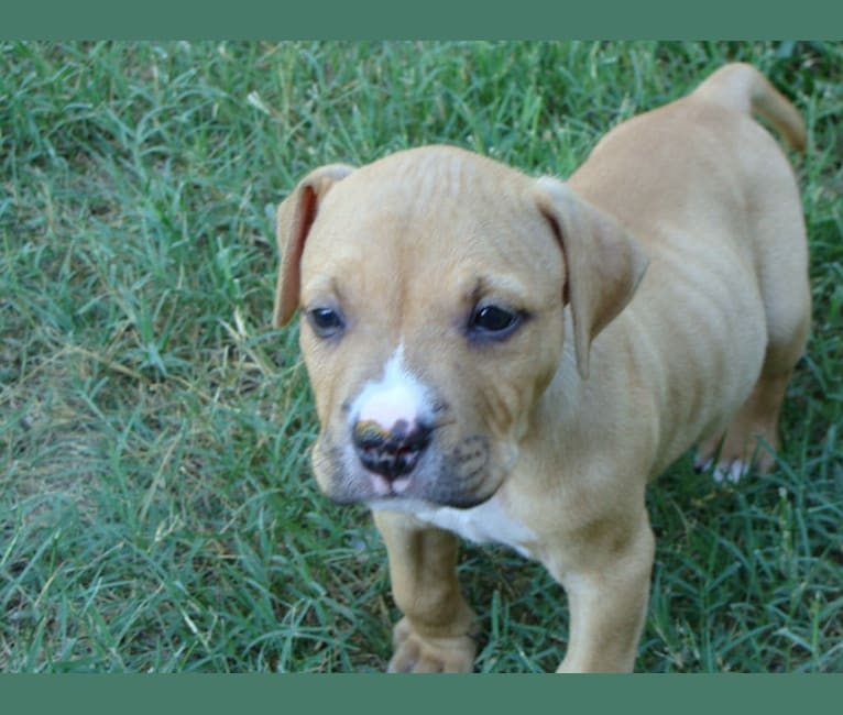 Photo of Creedence, an American Pit Bull Terrier, American Staffordshire Terrier, Boxer, and Bulldog mix in North Carolina, USA