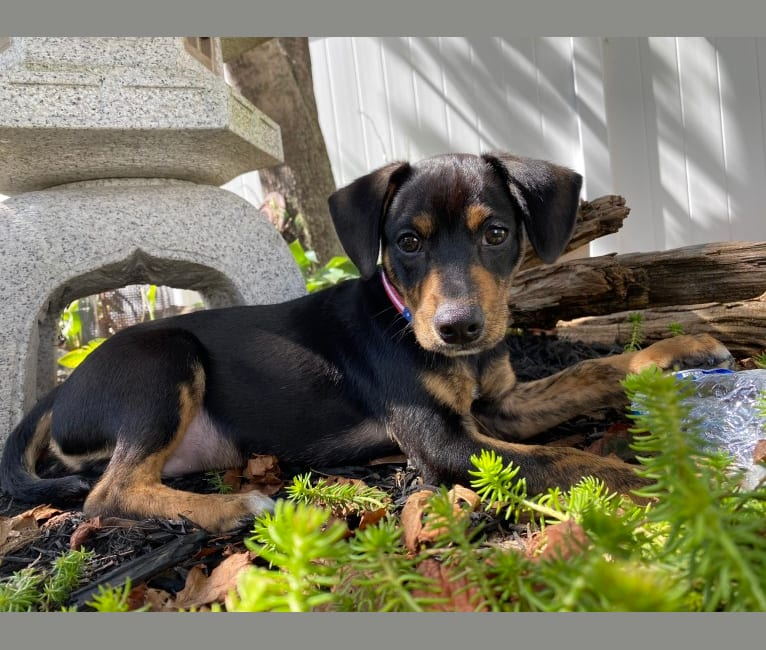 Photo of Sergeant, a Chihuahua, Dachshund, Beagle, and Mixed mix in Mississippi, USA