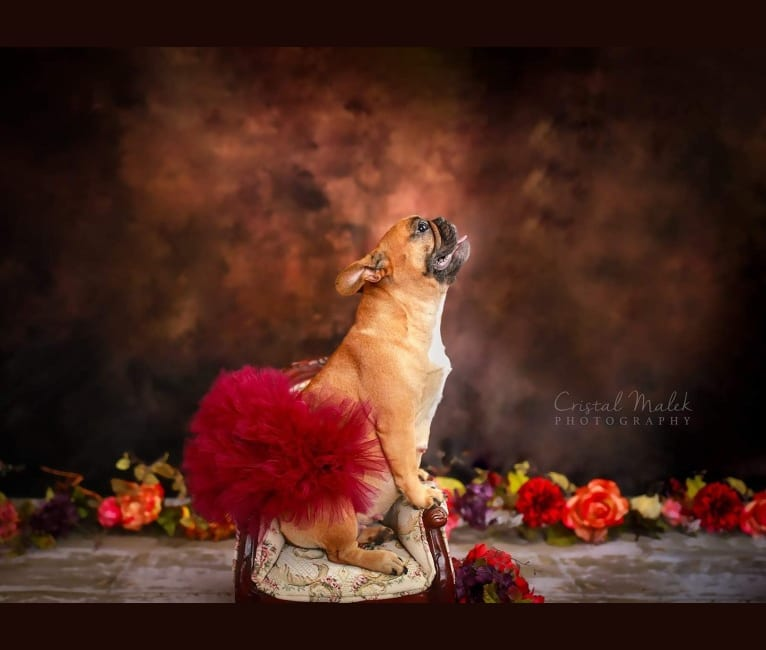 Photo of Cozette, a French Bulldog  in Kempner, Texas, USA
