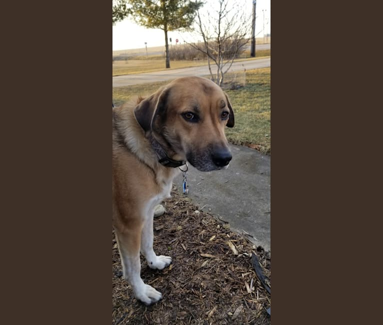 Photo of Clyde, a Great Pyrenees, Border Collie, Australian Cattle Dog, and Dogue de Bordeaux mix in Illinois, USA