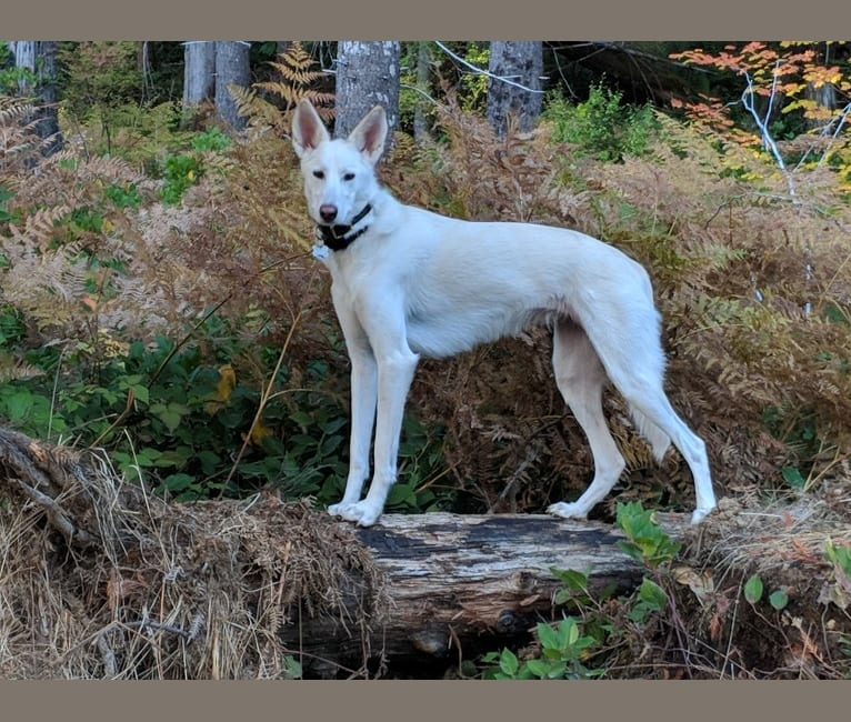 Photo of Kylie, an Alaskan-type Husky  in Mulino, OR, USA