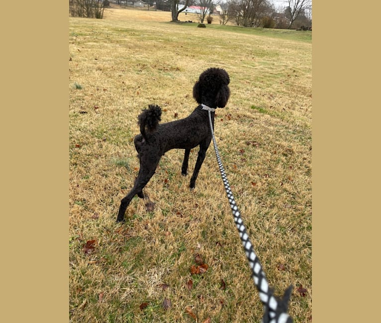 Photo of Sully, a Poodle (Standard)  in North Carolina, USA