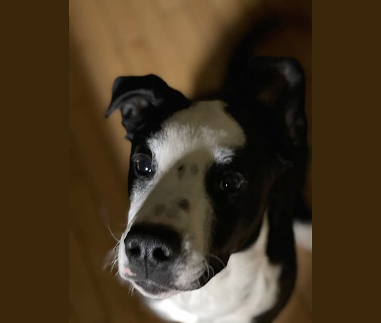Photo of Snoopy, a Golden Retriever, Australian Cattle Dog, American Pit Bull Terrier, and Mixed mix in Massena, New York, USA