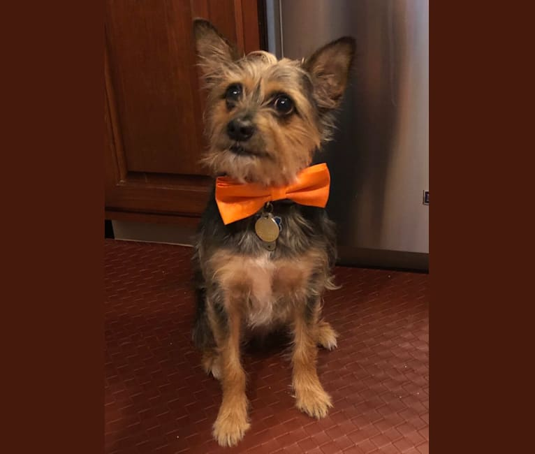 Photo of Alasdair, a Chihuahua, Yorkshire Terrier, and Miniature Pinscher mix in Kentucky, USA